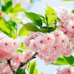 00133-Sakura-Blossom-0