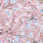 00155-Pink-Blossoms-0