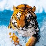 00590-Bengal-Tiger-0